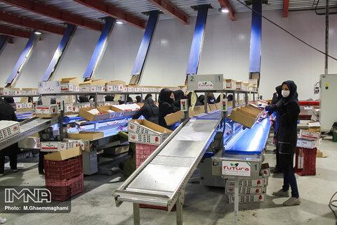 بسته بندی و صادرات سیب سمیرم