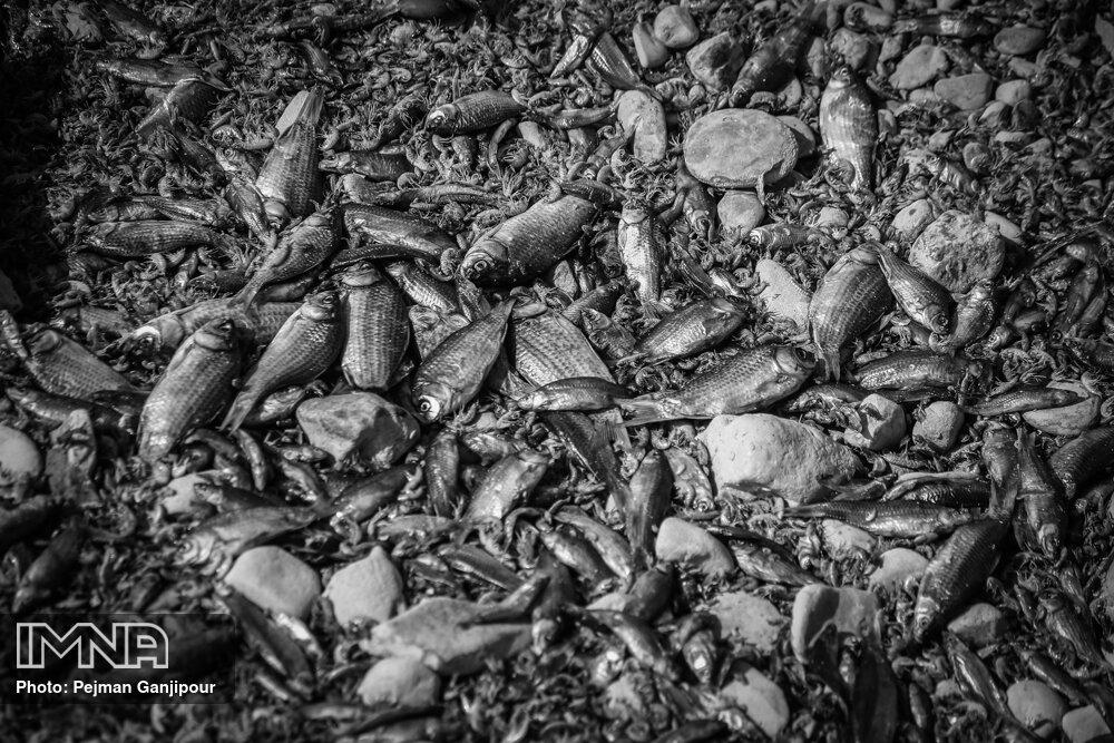 تراژدی مرگ ماهی ها در زاینده رود