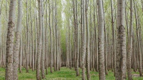 تولید ۳۵ میلیون اصله نهال برای توسعه ۳۲ هزار هکتار زارعت چوب