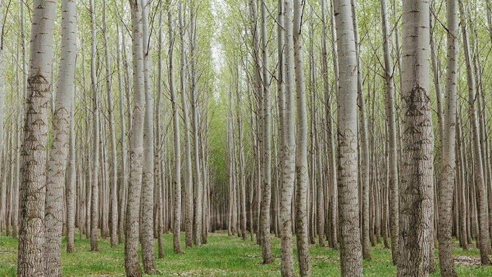 طرح زراعت چوب ۸۰ درصد مواد اولیه صنعت چوب را تامین میکند