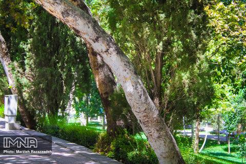 درختان پوسیده و خطرآفرین لاهیجان قطع میشود