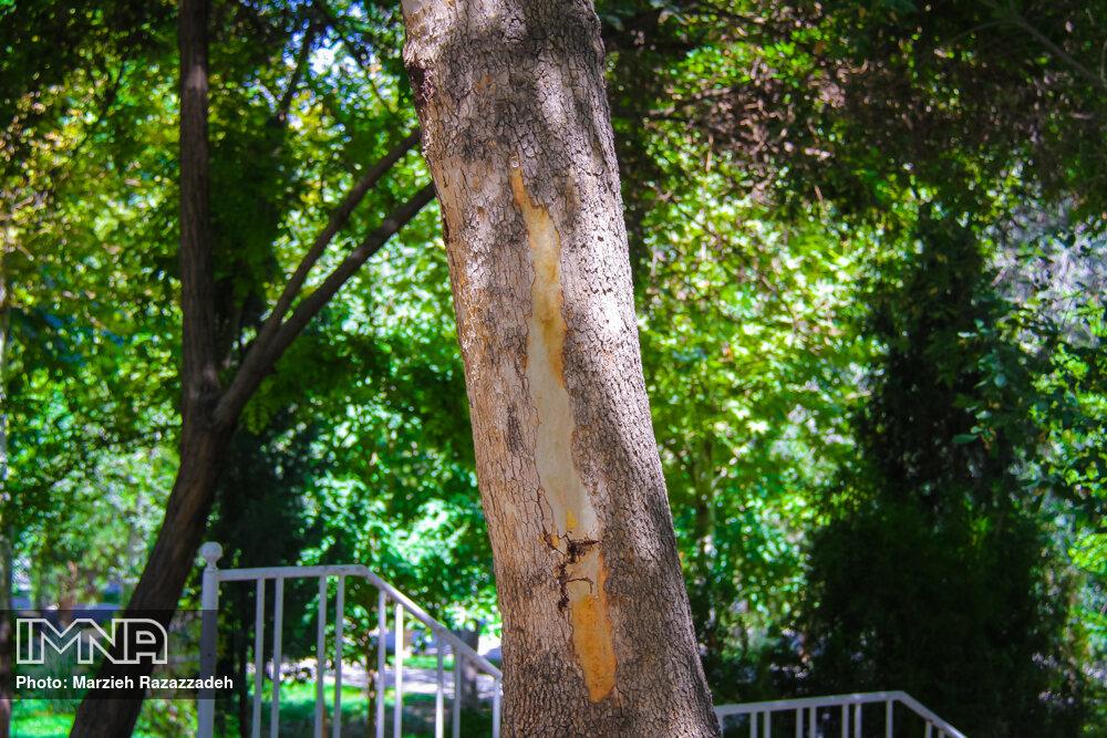 آفتی به جان درختان شهر