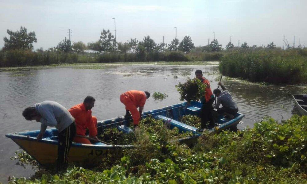 جمع آوری ۵ تن گیاه سنبل آبی از آبگیر سفیر امید آستارا