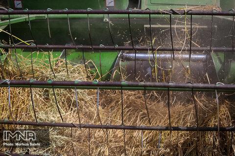 برداشت برنج از مزارع شهرستان مبارکه