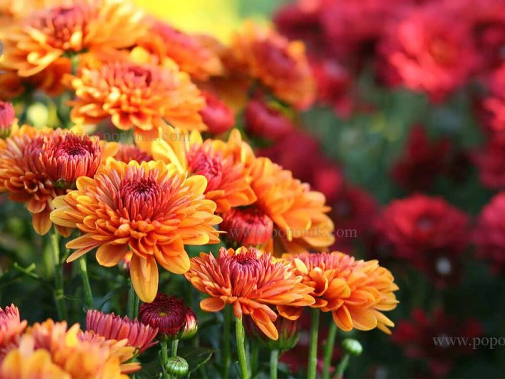 ۵۰۰ هزار گل داوودی زینت بخش پاییز مشهد میشود