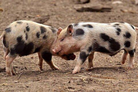 علائم ابتلا به ویروس کرونای خوکی چیست؟