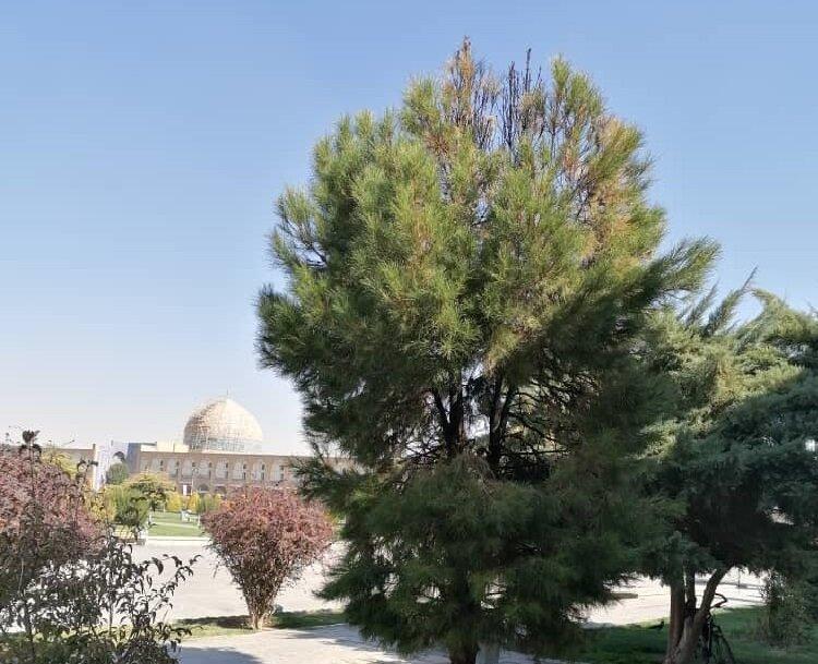 آسیبدیدگی ۵۰ درصدی یک درخت در میدان نقش جهان بر اثر آتشسوزی