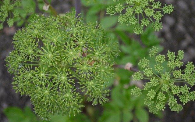خواص دارویی گیاه آنجلیکا چیست؟