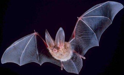 خفاشها آینده را پیشبینی میکنند