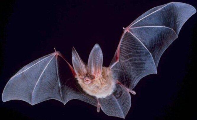ویروس جدید کرونا در خفاشها کشف شد