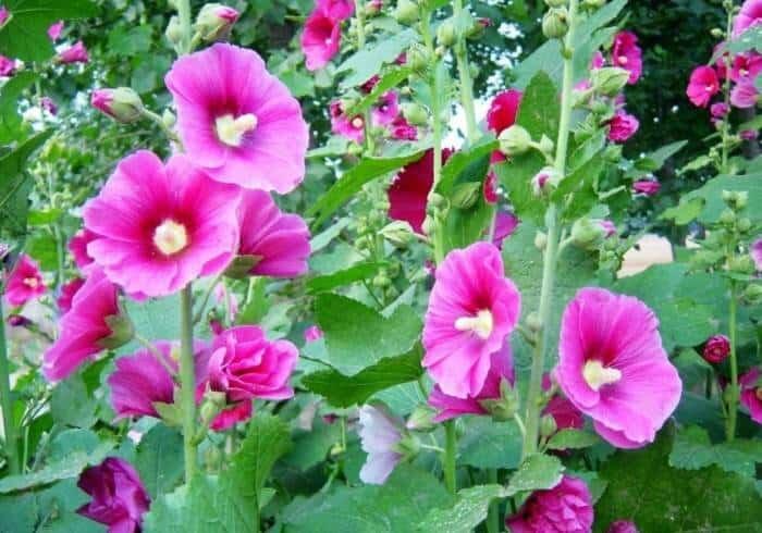 درمان سرماخوردگی با مصرف گیاه گل ختمی