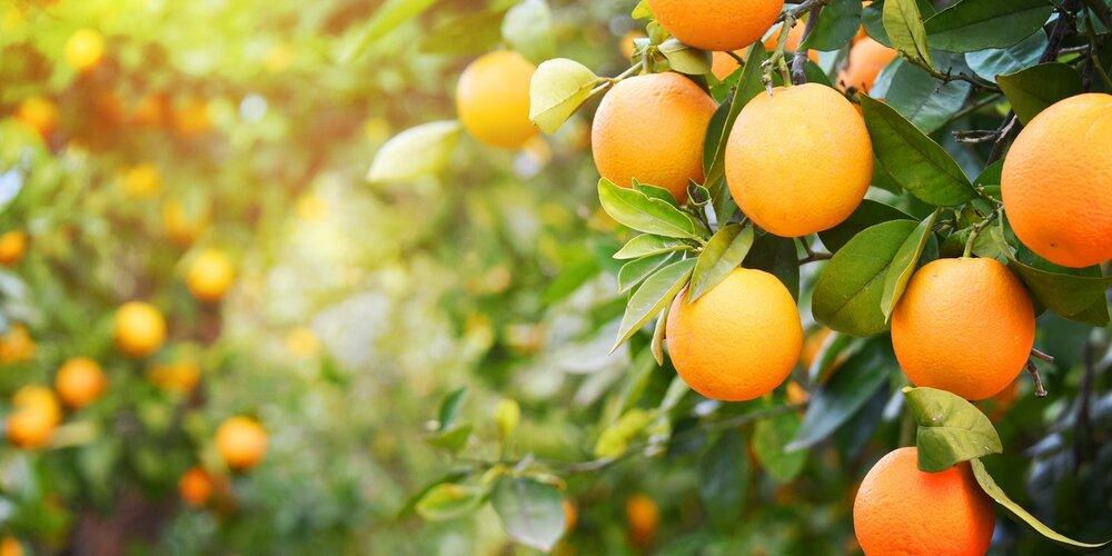 پرتقال به علت صادرات بی رویه گران شد