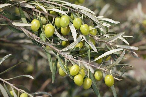 برداشت بیش از ۱۲۰ هزار تن میوه زیتون در کشور