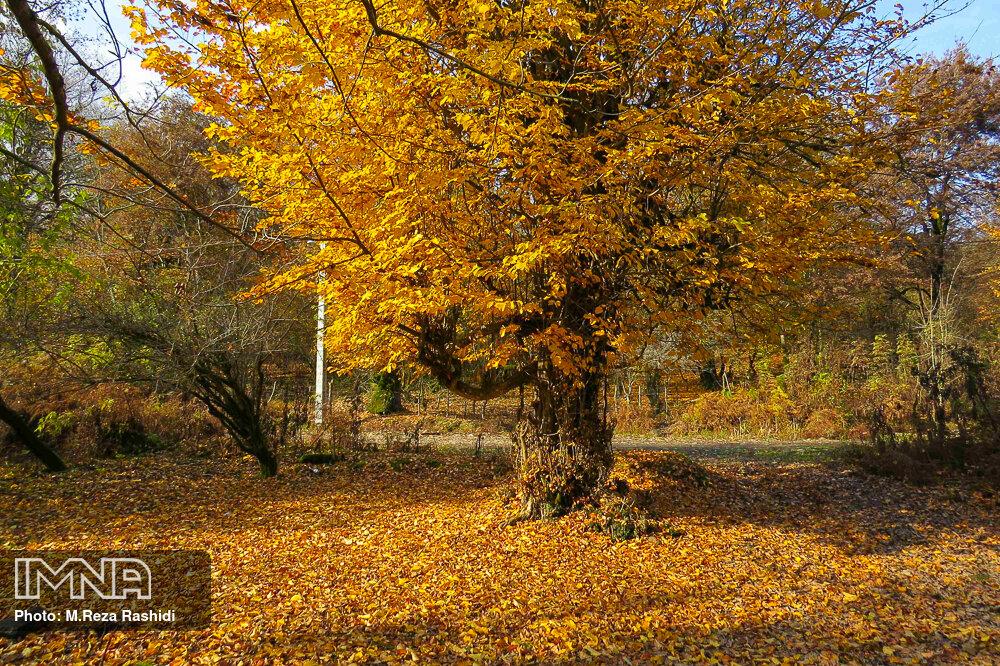 برگهای پاییزی در ۴ نقطه شهر جمع آوری نمیشود