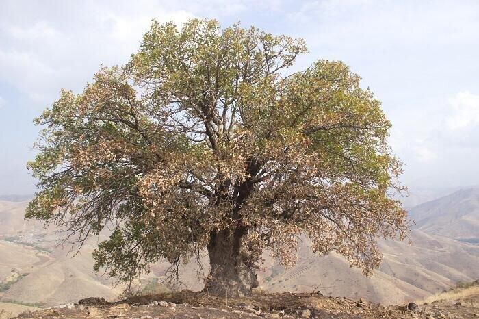 مراتب ثبت ملی ۸ درخت کهنسال به استاندار کردستان ابلاغ شد