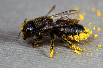 روش ارزان شناسایی کرونا با زنبور!
