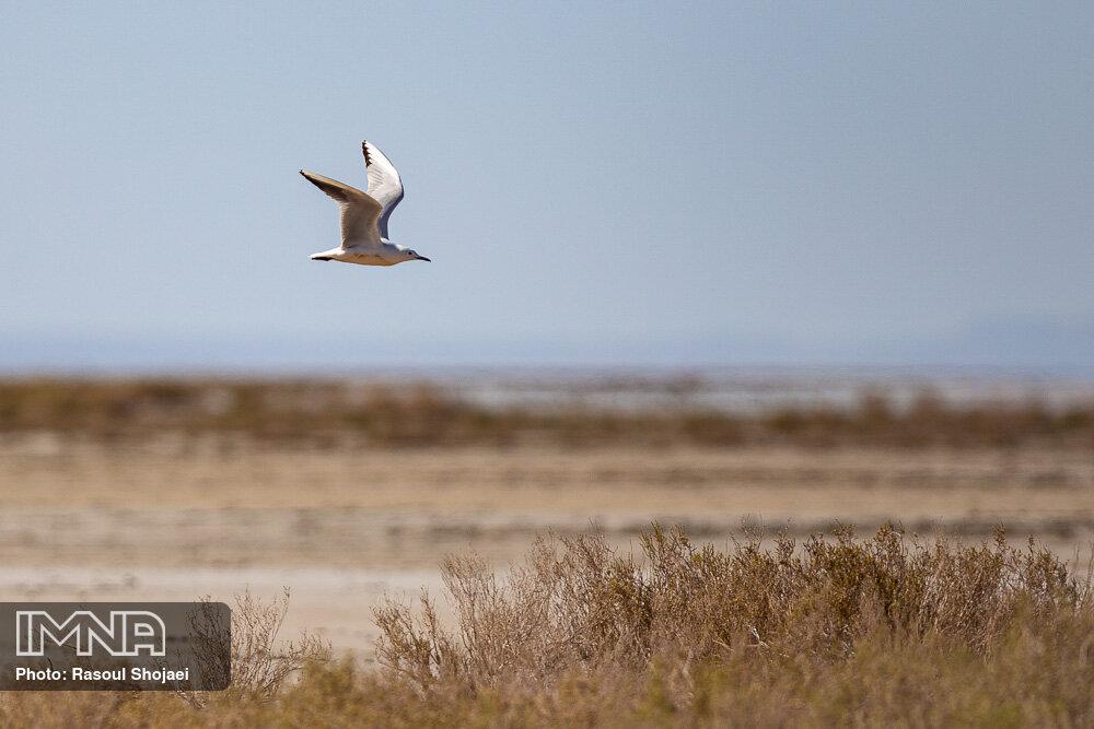 آب دریغ شده از گاوخونی تا مرگ ۱۲۸۲ پرنده در میانکاله