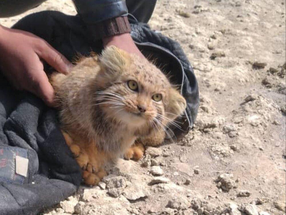 """گونه نادر """"گربه پالاس"""" در تالاب گاوخونی مشاهده شد+عکس"""