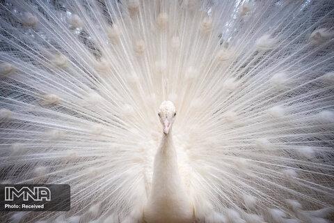 نگه داری از طاووس سفید در منطقه حفاظت شده از حیوانات