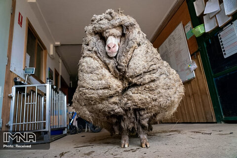 یافتن گوسفند گم شده با پشمی 35 کیلیویی در استرالیا