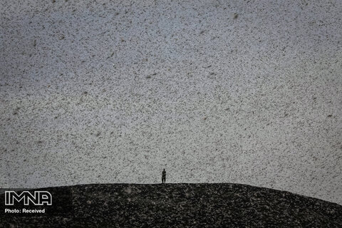 احاطه شدن مردی در هجوم ملخ های بیابانی در کنیا