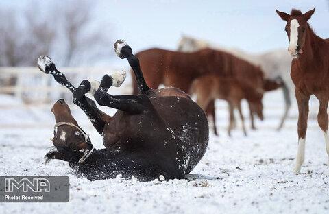 شادی اسب پس از دیدن برف ترکیه
