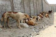 با سگهای ولگرد و بیصاحب در اصفهان چگونه برخورد می شود؟
