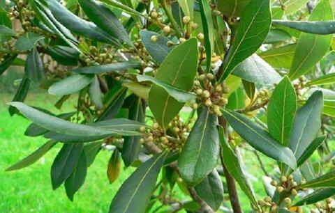 عفونتهای تنفسی را با گیاه برگ بو درمان کنید