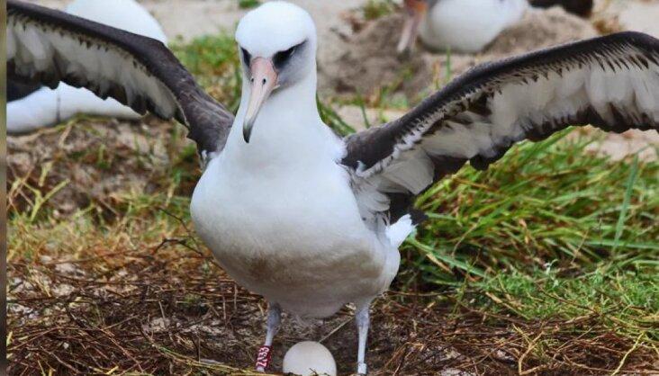 سالخوردهترین پرنده وحشی جهان در ۷۰ سالگی جوجه آورد