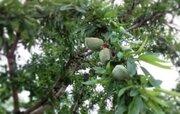 رونق اقتصادی در رزوه با اصلاح باغات گردو و بادام