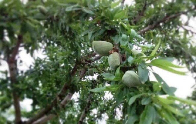 دانشبنیانها درخت بادام مقاوم به کمآبی تولید کردند