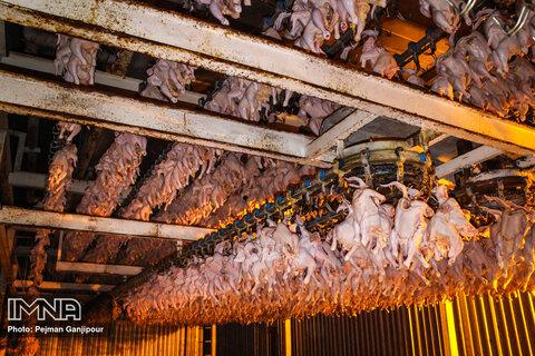 مرغ گران است نهادههای دامی نایاب!