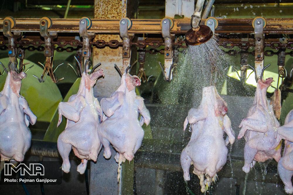 آشفته بازار مرغ؛ مسئولیت تنظیم بازار به جهاد کشاورزی سپرده شد
