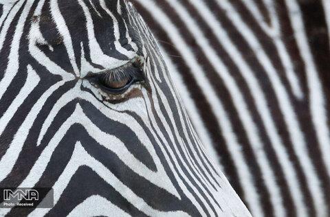 تصاویری از یک گورخر در پارک Woburn Safari در ووبورن انگلیس طی دوران کرونا