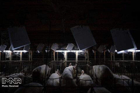 رتبه سوم بهترین داستان تصویری محیط زیست   مزرعه پرورش خوک در اسپانیا