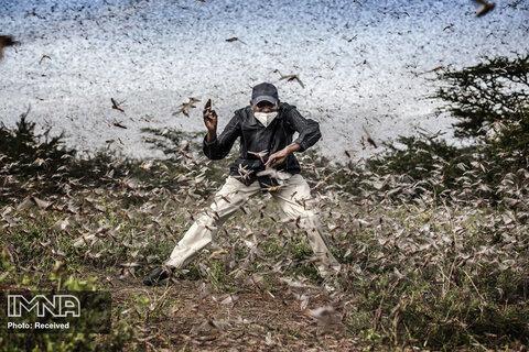 رتبه سوم بهترین داستان تصویری طبیعت  هجوم ملخ ها در شرق آفریقا