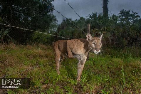 رتبه دوم تک تصویر  طبیعت عبور محتاطانه یک پلنگ ماده به سمت یک گاوداری در فلوریدا
