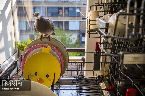 رتبه اول بهترین داستان تصویری طبیعت دوستی دو کبوتر با خانواده یک عکاس در دوران پاندمی کرونا در هلند