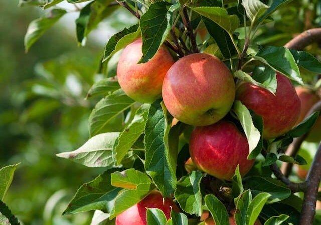 معجزه درمانی میوه سیب را بشناسید