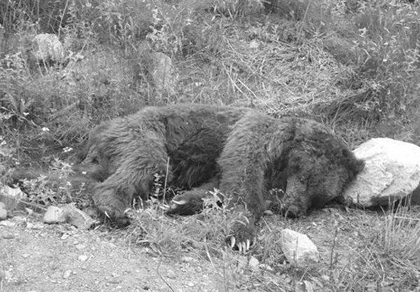 شکار خرس قهوهای در ارتفاعات سمیرم