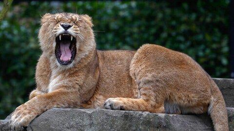 ۸ شیر آسیایی به کرونای هندی مبتلا شدند