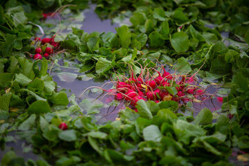 Beautiful shots of harvesting radishes in Isfahan