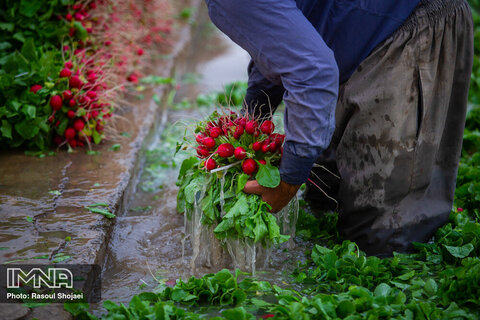 Beautiful shots of harvesting radishes