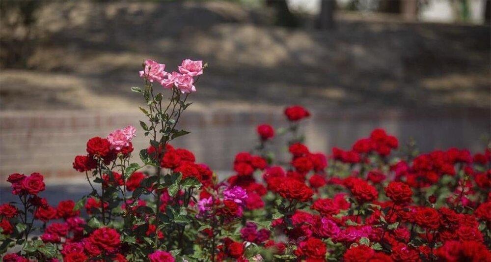 کاشت بیش از ۸۰ هزار بوته گل دائمی و فصلی در زرین شهر