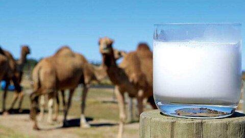 خواص شیر شتر+ داروی ضد دیابت جدید