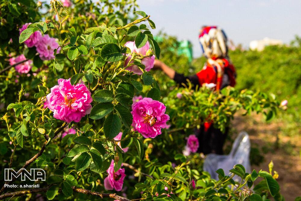 افزایش ۲۰ درصدی برداشت گلمحمدی در فریدونشهر
