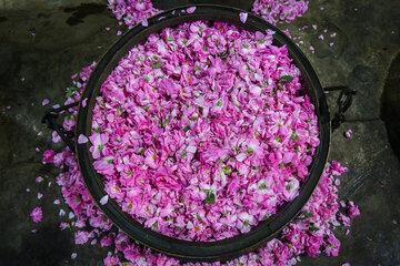 Traditional Rose Distillation in Iran's Kashan