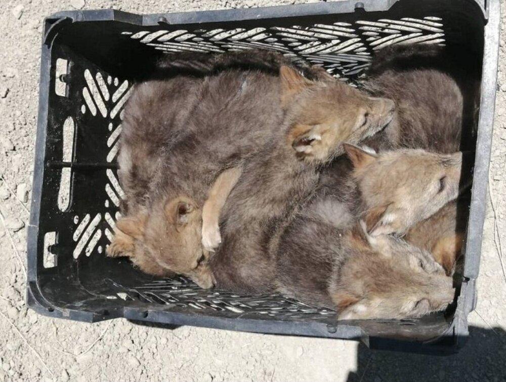 ۱۱ قلاده توله شغال به طبیعت بازگردانده شدند