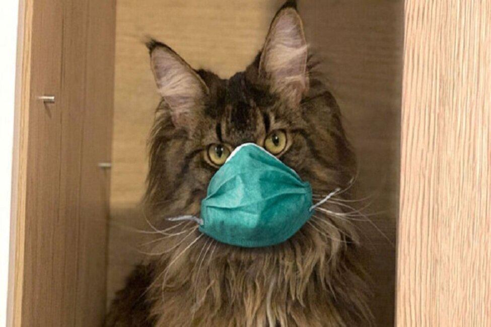 کروناویروس از طریق گربه منتقل میشود