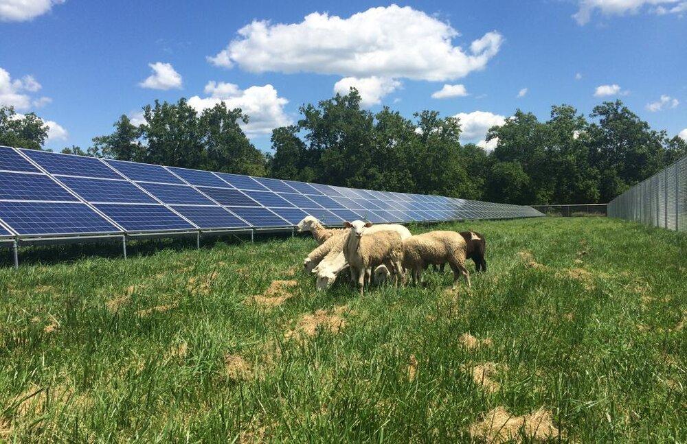 تولید انرژی تجدیدپذیر در پنلهای خورشیدی با کمک گوسفندان!